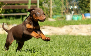 Young puppy