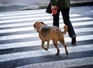 apprendre a son chien a marcher en laisse