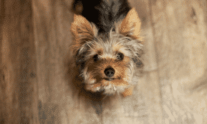 chien qui gemit