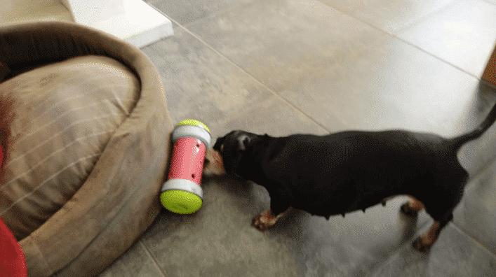 pipolino chien