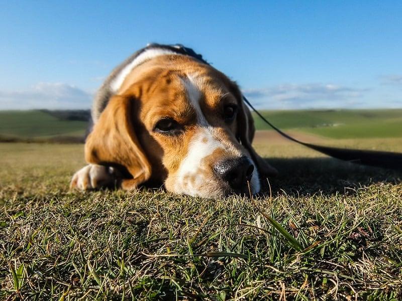 beagle-image
