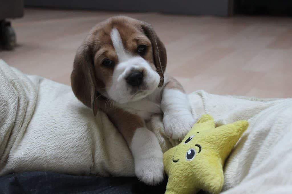 chiot-beagle-mignon